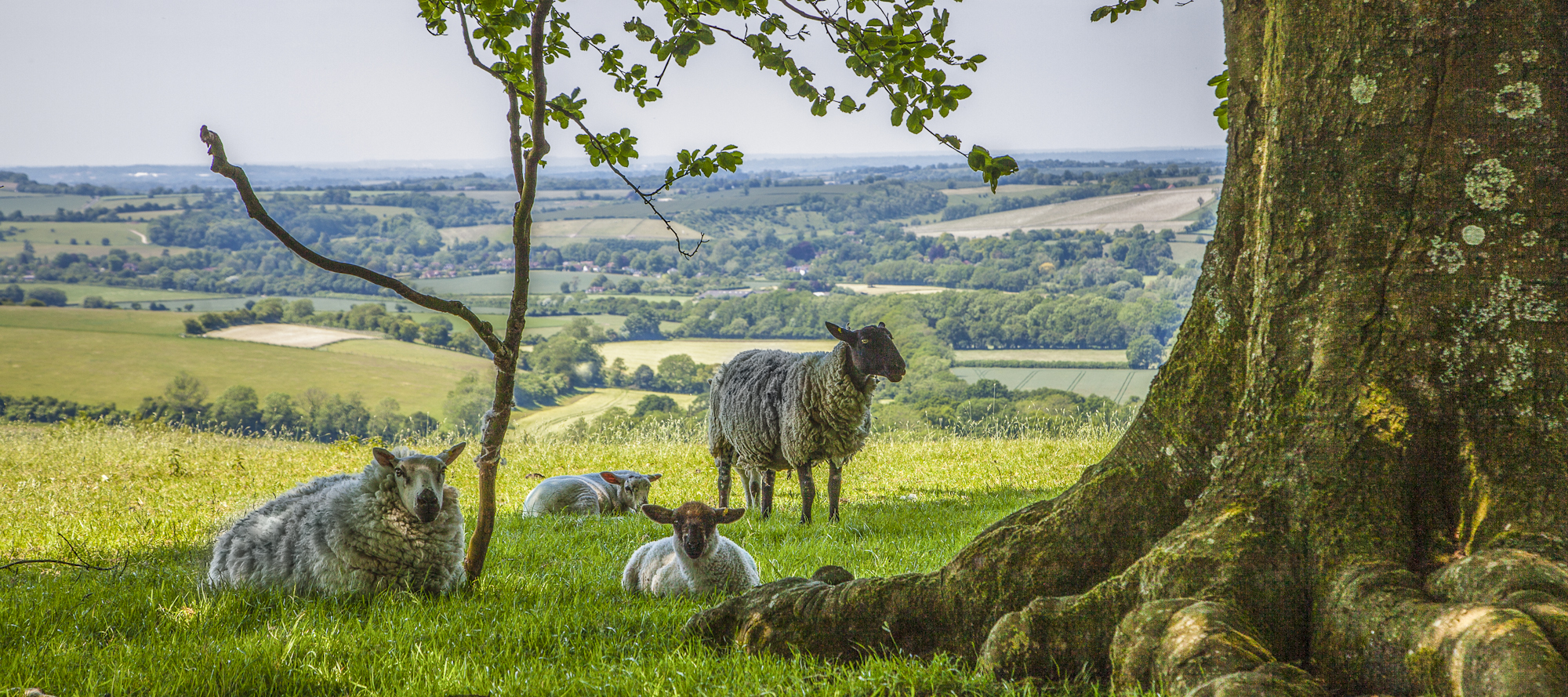 Sheep and lambs with view over valley